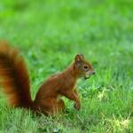 ecureuil roux cevennes
