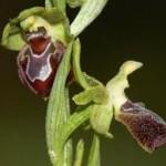 orchidées Ophrys provincialis