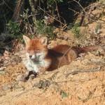 renard roux cevennes